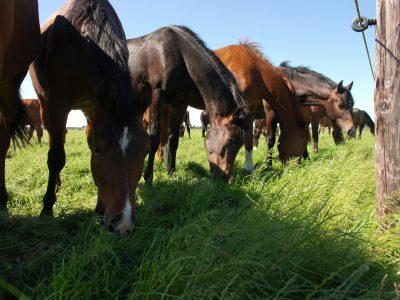 Grazende paarden in de wei